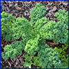 Curly leafed kale in mulched bed