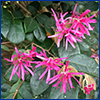 Pink loropetalum flowers