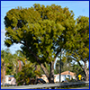 Huge tree towering over houses