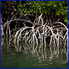 Woody roots of mangrove trees reaching into dark water