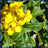 Yellow flowers of Mexican tarragon