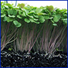 Cut away view of microgreens in dark soil