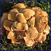 A cluster of tan mushrooms growing on a lawn