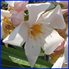 Pale pink oleander flower