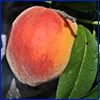 Peach on the tree