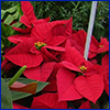 Red poinsettia plants