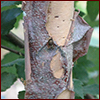 Closeup of a river birch's bark