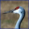 Sandhill crane's head and long curved neck