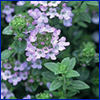 tiny purple flowers and small green leaves of thyme