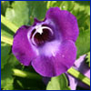 Purple flower of torenia