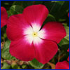 A deep pink vinca flower with a white center