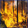 A pine forest in flames