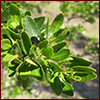 Yaupon holly foliage