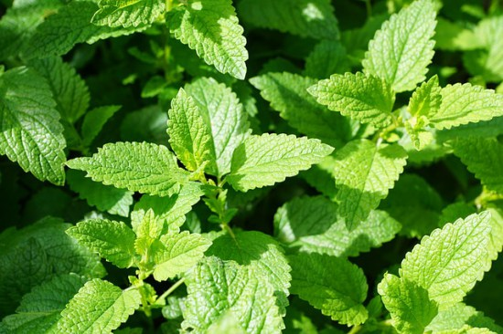 Pest Repelling Plants Mint Family Plant Peppermint Sweet Mint Spearmint Lemon Balm and Bee Balm