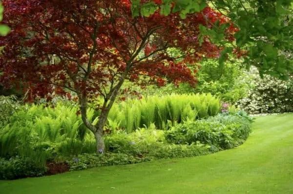 ornamental trees japanese gardens Acer palmatum 'Bloodgood': Japanese Garden Star