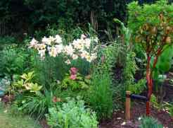 I planted a lot of Lilium regale for their irresitible scent.