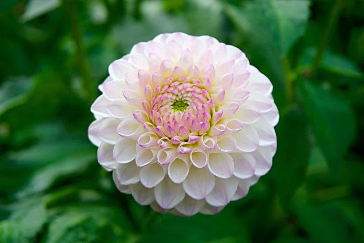 garden flower closeup close up