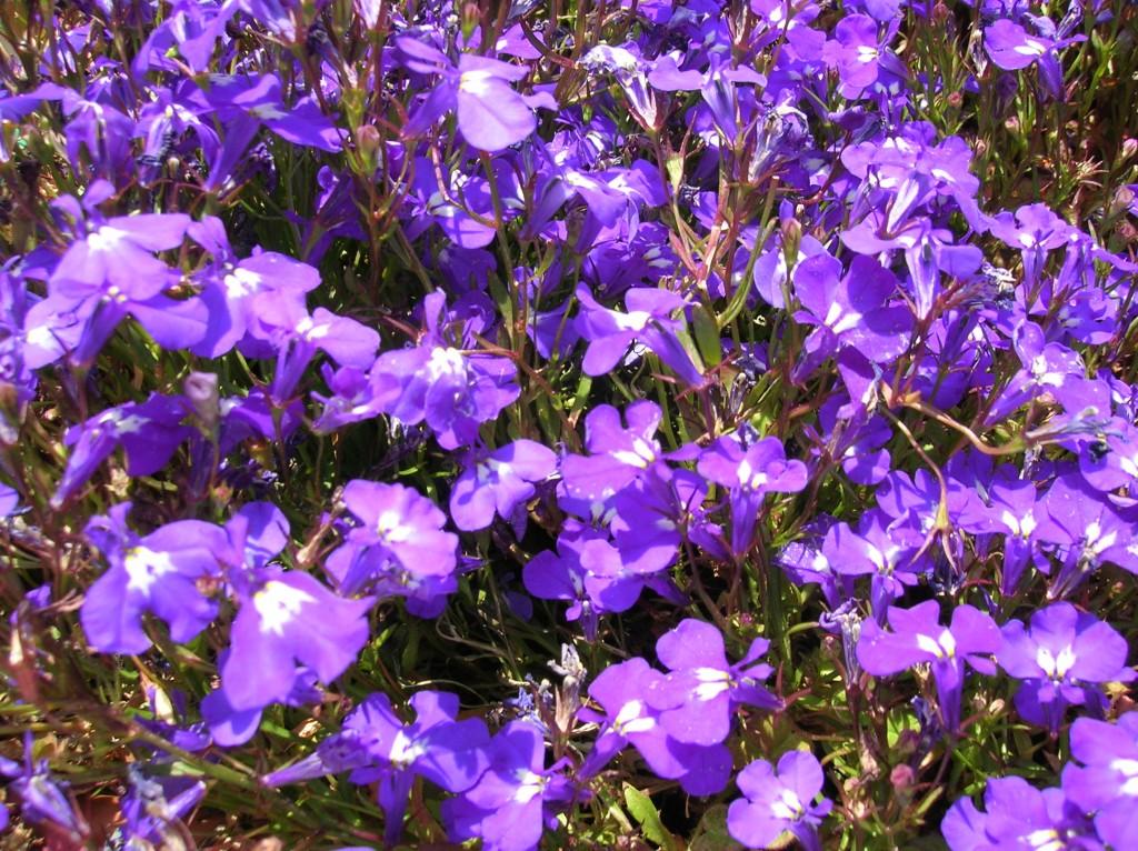 How To Grow Lobelia Grow Lobelia Flowers And Its Care