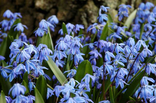 How To Grow Siberian Squill Planting Siberian Squill Bulbs Scilla