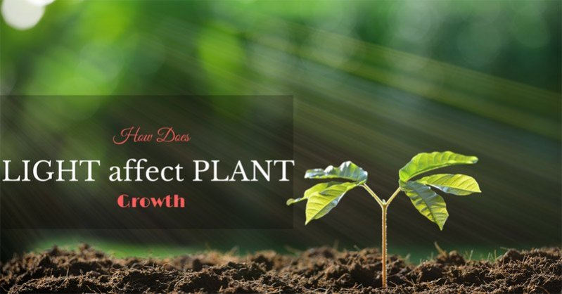 how does light affect plant growth
