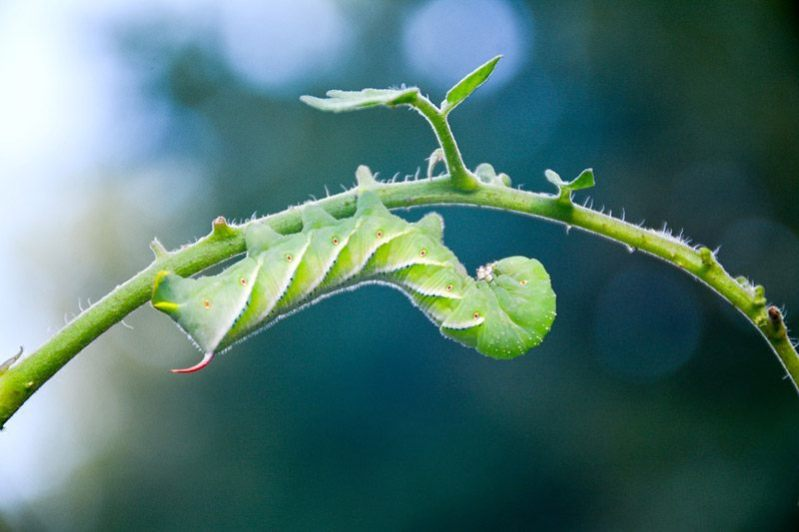 Caterpillar-Garden-Worm-Tomato-Hornworm-Insect