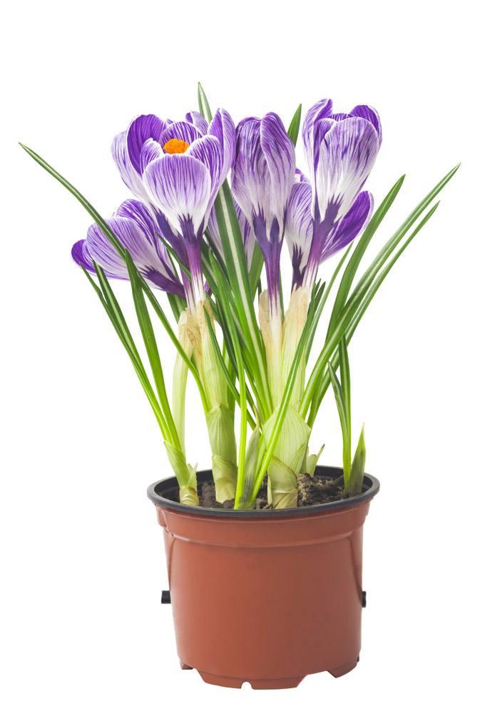 Growing saffron indoors