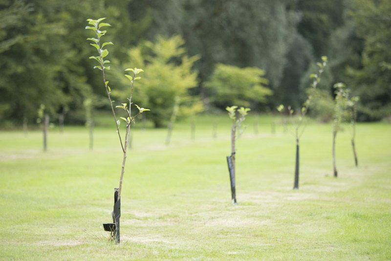 Newly planted trees in a row