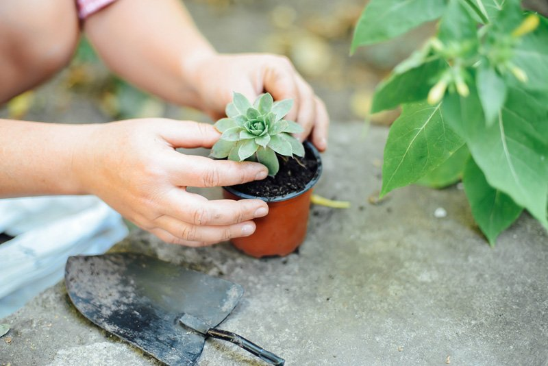 transplanting succulent into new pot