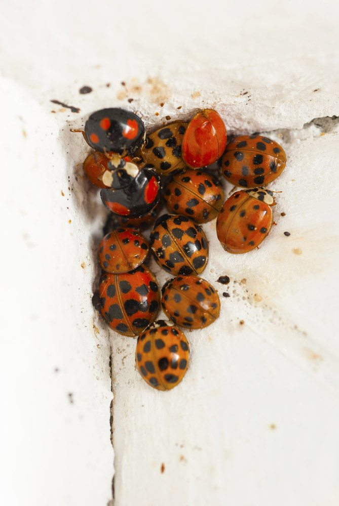 ladybugs sleeping in room corner at winter