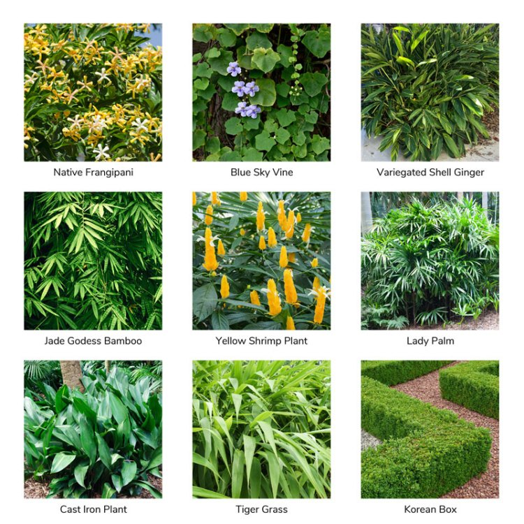 Planting palette suitable for narrow backyard to achieve tropical look even in Temperate Climate. Showing Native Frangipani (Hymenosporum flavum), Ble Sky Vine (Thunbergia grandiflora), Variegated Shell Ginger (Alpinia zerumbet 'Variegata'), Jade Godess Bamboo (Bambusa boniopsis), Yellow Shrimp Plant (Justicia brandegeana 'Lutea'), Lady palm (Rhapis excelsa), Cast iron Plant (Aspidistra elatior), Tiger Grass (Thysanoleana maxima), Korean Box (Buxus microphylla var. koreana)