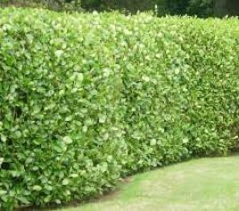 hedge evergreen