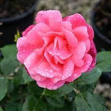 grandma's Blessing roses