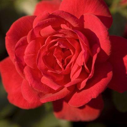 super-hero-rose