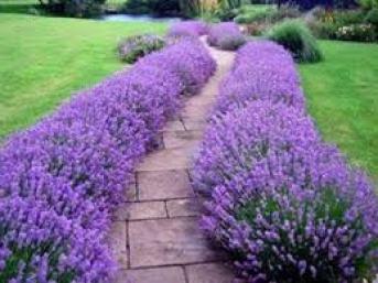 lavendar hedge