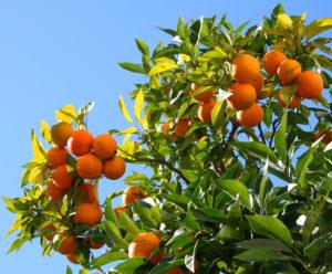 orange-tree-1057334