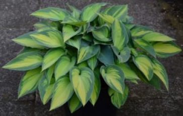 plantain-lily-1579042_1920