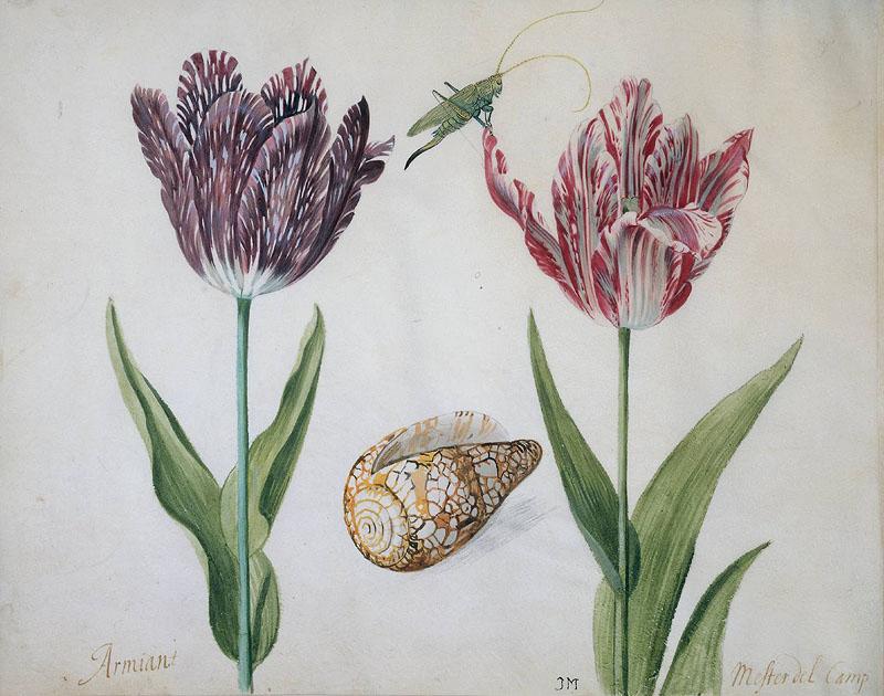 пестролепестные тюльпаны