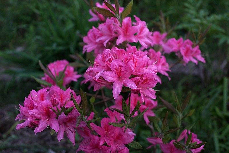 Рододендроны для средней полосы России Rhododendron 'Rosy Lights'