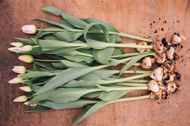 Фузариоз и альтернариоз луковиц тюльпана