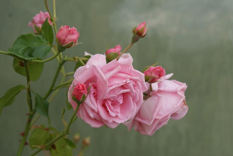 rosa Coral Dawn высокие розы плетистые вьющиеся