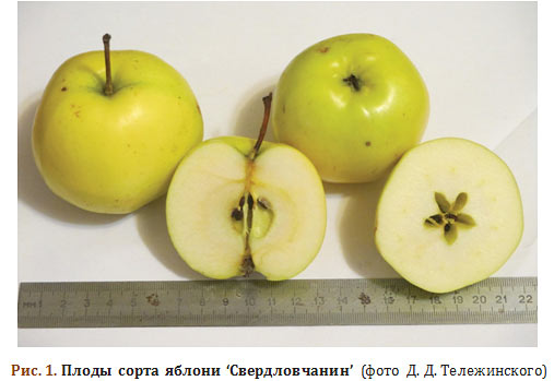 Плоды сорта яблони 'Свердловчанин'
