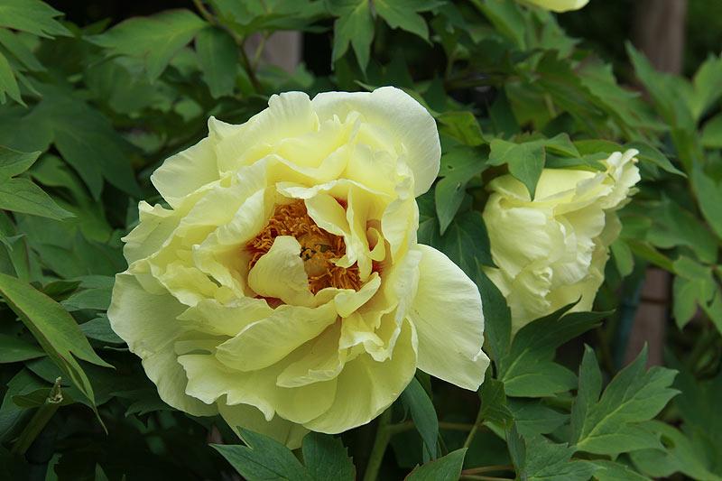 Ито-гибриды пионов. Сорт Yellow Crown