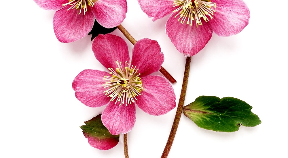 Hellebores – The Perfect Shade Plant