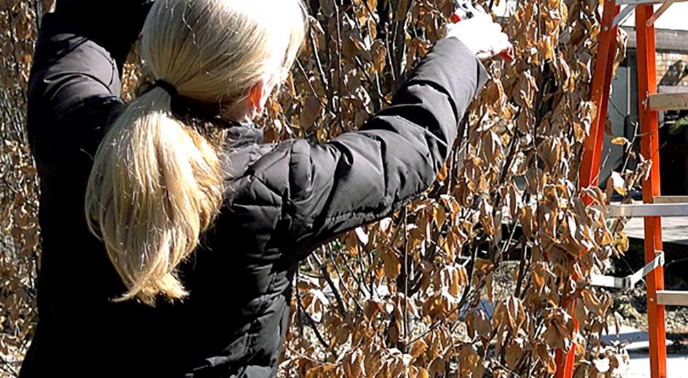 How to Prune a Hornbeam Hedge