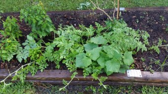 Cuke and watermelon seedlings that never got transplanted...