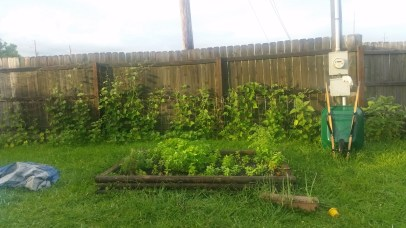 Herb bed with the string bean bed behind