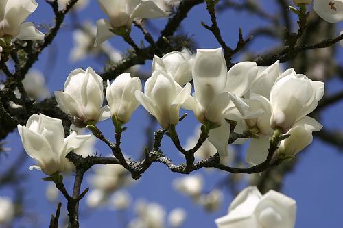 How To Choose a Magnolia GARDEN OF EADY