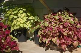 Homegrown Coleus: three types