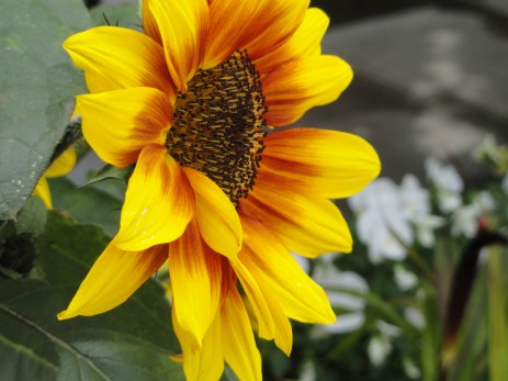 Sunflower at Pike's Market