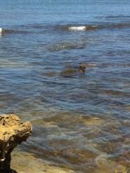 Turtles at Haleiwa Beach 1